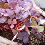 赤紫蘇色のオキザリス