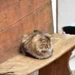 クールマイヨール付近におったモフモフの猫ちゃん