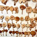 Funghi Pioppini o Piopparelli