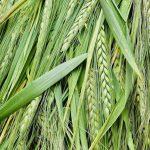 麦が順調に育ってます