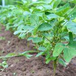 ペペロッソファームの枝豆なってきました
